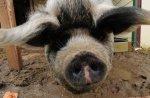 Свинье сделают подтяжку «лица»