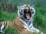3 года колонии за продажу мертвых тигров