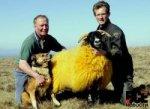 Фермер перекрасил овец в оранжевый цвет