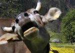 Школьница из Германии дрессирует корову