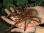 Ученые музея обнаружили самого большого паука