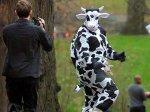 Американец украл 100 л молока, нарядившись в костюм коровы