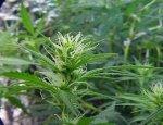 В честь Джастина Бибера назвали новый сорт марихуаны