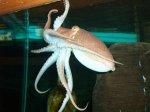 Происходит отбор новых осьминогов провидцев