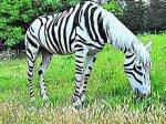 В Крыму появилась фальшивая зебра