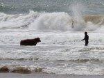 Английские спасатели достали из океана быка