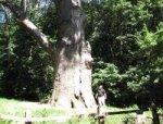 Дерево лечит людей