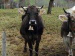Голландец украл колокольчик у баварской коровы