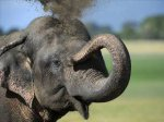 Перепись всех слонов собрались проводить на Шри-Ланке