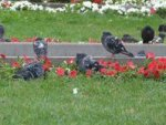 Американца могут посадить за кормление голубей