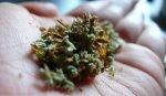 Будет ли легализована марихуана в США?