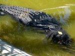 Филиппинский мэр не захотел терять крокодила