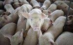 Свиной навоз – отличное оружие против хулиганов в лесах