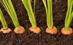Женщина потеряла кольцо, нашла его на моркови в саду