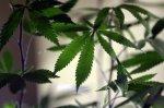 Майонез со вкусом марихуаны – новинка в нидерландском ресторане