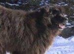 Житель Канады перепутал собаку с медведем
