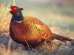 Охота на фазана стоила китайцу автомобиля