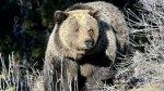 Мужчина в костюме медведя приставал к настоящим медведям